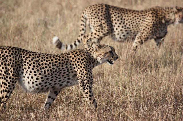 africa-cheetah